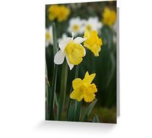 Winter's Daffodils Greeting Card