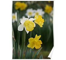 Winter's Daffodils Poster