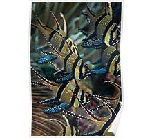 Banggai cardinalfish - Lembeh Straits Poster