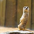 little meerkat by Manon Boily