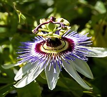Passion Flower by Susie Peek