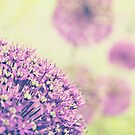 Allium Bokeh by mariakallin