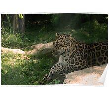 Relaxing Cheetah Soaking up Shade Poster