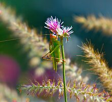 Red Headed Grasshopper by imagetj