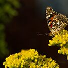 PAINTED LADY by Sandy Stewart