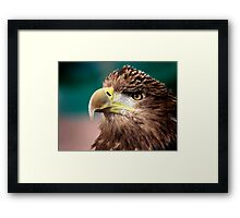 White Tailed Sea Eagle Framed Print