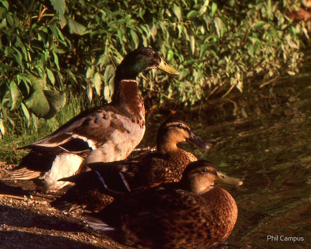 Ducks by Phil Campus