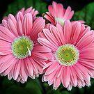 Pink Gerberas by PhotosByHealy