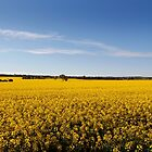 Rural sea of Canola by jwwallace