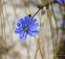Cichorium Intybus - Common Chicory | Center Moriches, New York by © Sophie W. Smith