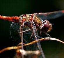 Dragonfly Splendor by Darren Bailey LRPS