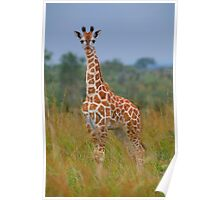 Young Giraffe On Alert Poster