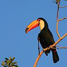 Toco Toucan by naturalnomad
