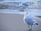 Ring-billed gulls by elasita