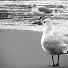 Ring-billed gulls B&W by elasita