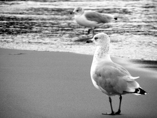 Ring-billed gulls B&W by elasita