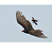 Blackbird Attack! Photographic Print