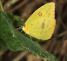 Southern Dogface Butterfly by Penny Odom