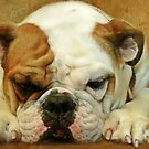 Bulldog by Susanne Correa
