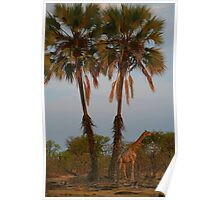 Giraffe Under Palm Trees Poster