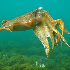 Giant Cuttlefish by naturalnomad