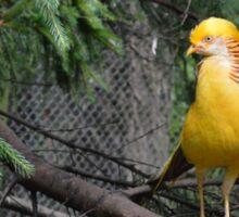 Yellow Golden Pheasant Sticker