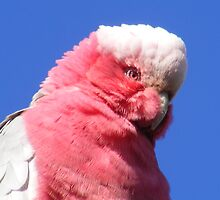 Pink Galah. (Eolophus roseicapilla) by Esther's Art and Photography