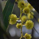 Golden Wattle by Lozzar Flowers & Art