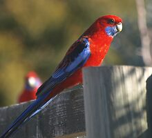Parrot On A Fence rail. by shortshooter-Al