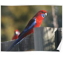 Parrot On A Fence rail. Poster