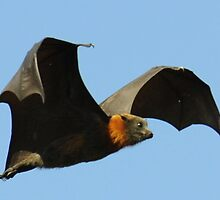 Australia's Flying Fox in Flight by Richard Shakenovsky
