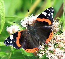 Vanessa atalanta (Red Admiral) by DutchLumix