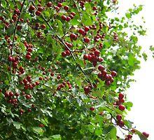red berries :)  by KathleenAnn