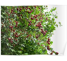 red berries :)  Poster