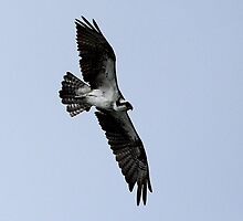 Osprey in Flight by Gail Falcon