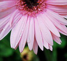 Gerber daisy III  by Jeff Stroud