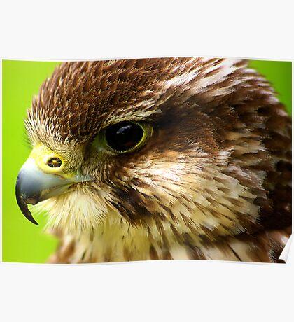 Hobby  (Falco Subbuteo) - Bird of Prey Poster