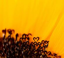 the heart of a sunflower by Ingz