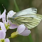 Green Veined White Butterfly by John Keates