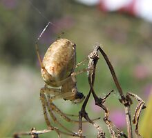 Garden spider- but what's my name? by sarnia2
