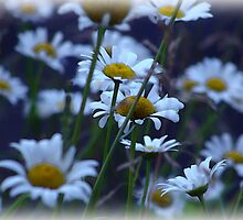 The Daisy Patch by vigor