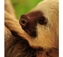 Costa Rica Sloth by Amantine