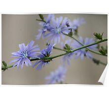 Wild Chicory Poster