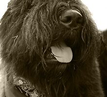 Bouvier des Flandres by Joe Randeen