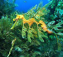Leafy Seadragon by Jamie Kiddle