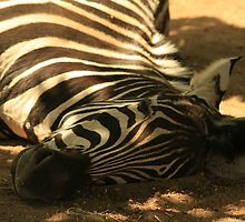 Zebra taking a little lie down at London Zoo by boosticks