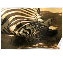 Zebra taking a little lie down at London Zoo Poster