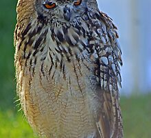 African Spotted Eagle Owl by Elcee