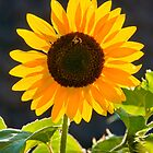 Best of the summer sunflowers by Michael Brewer