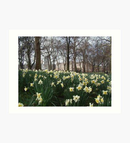 Green Park Daffodils  Art Print